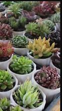 Wanted succulent cuttings Glenorchy Glenorchy Area Preview