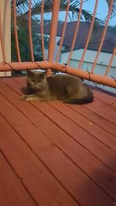 Urgent sale - perfect natured cat- 18 month old male Russian Blue