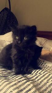 Domestic long haired kittens Craigieburn Hume Area Preview
