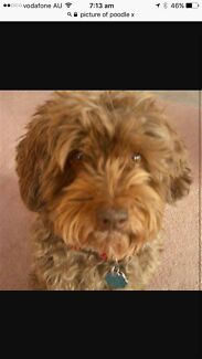 Wanted: WANTED Poodle X Dog 6mths to 4 years