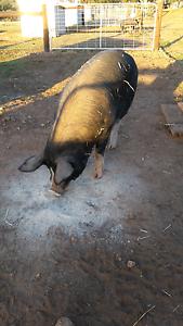 Berkshire pig Freeling Gawler Area Preview