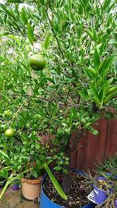 MANDERIN TREES FRUIT BEARING IMPERIALS Booragoon Melville Area Preview