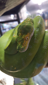 REPTILE DEALERS Para Hills West Salisbury Area Preview
