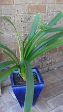Potted Orange Clivia plant *Healthy condition* Shelley Canning Area Preview