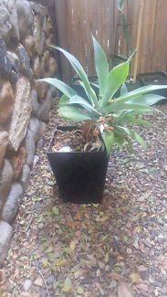 Self watering black pot with 1 large agave plant