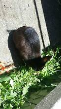 """""""Bella"""" dwarf rabbit """"URGENT"""" and rainbow lorikeet with her cage Panania Bankstown Area Preview"""