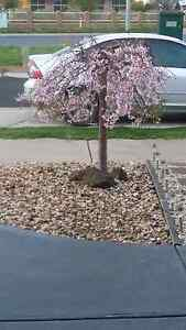 Beautiful Weeping Cherry Pink Hoppers Crossing Wyndham Area Preview