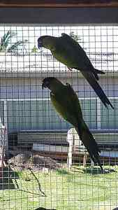 Bonded pair of Nanday conures Albion Park Rail Shellharbour Area Preview