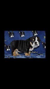 High quality Tri black English bulldogs