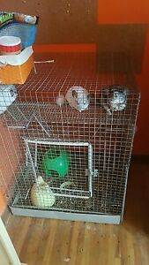 Chinchillas breeding pair