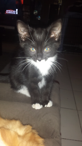 2 kittens looking for loving homes Beechboro Swan Area Preview