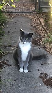 Russian blue cross ragdoll male desexed cat ... Good home only