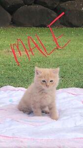 Rag doll x kittens for sale