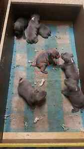 Blue English Staffy Puppies Oxley Park Penrith Area Preview