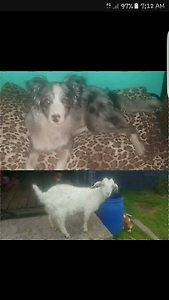 MISSING BORDER COLLIE & GOAT Ouse Central Highlands Preview