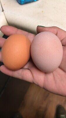 2 Rare Pure Pink French Black Copper Maran Fertile Hatching Egg Beautiful