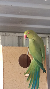Green Male Indian Ringneck Roseworthy Gawler Area Preview
