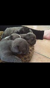 Purebred French Bulldog Pups with Papers Wagga Wagga Wagga Wagga City Preview