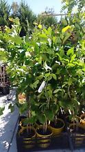 LEMONS, LIMES, ORANGES, LEMONADE AND MANDERINE TREES Skye Frankston Area Preview