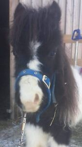 Adorable Miniature Filly