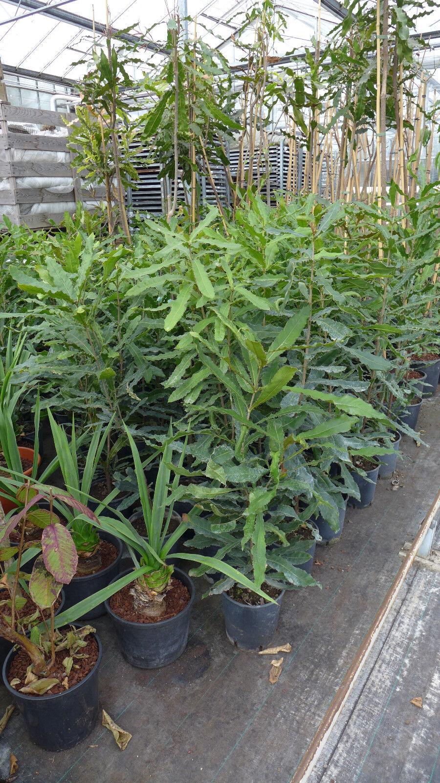 Macadamia ternifolia Macadamianuss Nuss selbstbefruchtend ca.100-120 cm