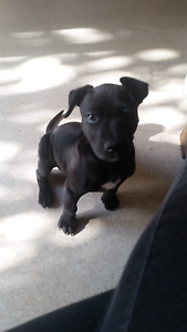 Female American staffy puppy Thebarton West Torrens Area Preview