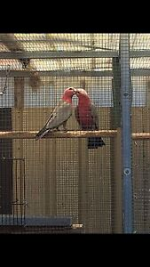 Breeding pair of galah Campbelltown Campbelltown Area Preview