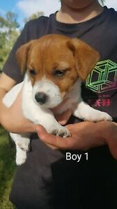 Jack Russell Puppies purebred - SOLD PENDING PICK UP