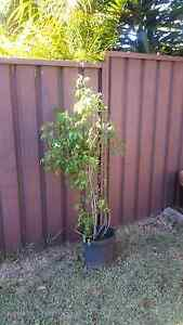 Potted Plants for sale Casula Liverpool Area Preview