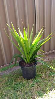 Yucca plants for Sale