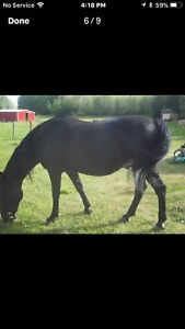 REDUCED PRICE —-Great horses for sale together