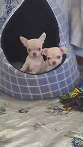Pure bred male chihuahuas for sale Mount Pritchard Fairfield Area Preview