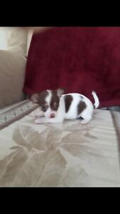 Adopt Dogs & Puppies Locally in Belleville   Pets   Kijiji Classifieds