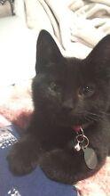 Lost black kitten Lidcombe Auburn Area Preview