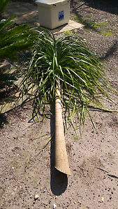 Ponytail Palm Templestowe Lower Manningham Area Preview