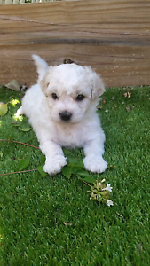 Cavachon puppies Bahrs Scrub Logan Area Preview