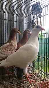 Strong healthy young racing pigeons Silverwater Auburn Area Preview