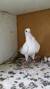 Pigeon for sale Coolaroo Hume Area Preview