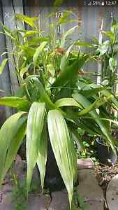 Lucky Banboo Plants Cranbrook Townsville City Preview