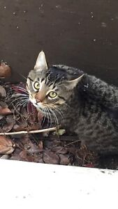 Young lost tabby