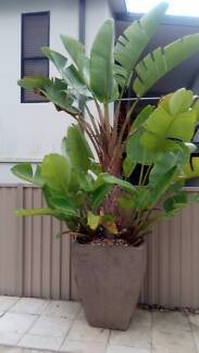 3.2 Meter White Birds of Paradise in X-Large Lava Pot-REDUCED! Robina Gold Coast South Preview