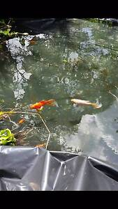 Mature Pond Fish Toormina Coffs Harbour City Preview