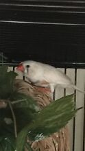 Zebra finch Nambour Maroochydore Area Preview
