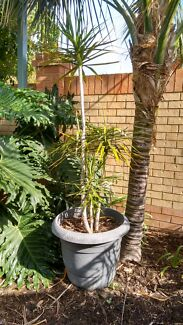Dracaena in pot  Tapping Wanneroo Area Preview