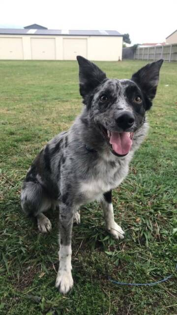 Free to good home Coolie x Border Collie | Dogs & Puppies
