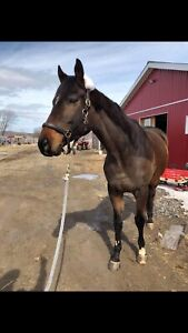 Fancy project horse! NEEDS to be sold before april
