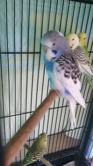Baby budgie. Pied
