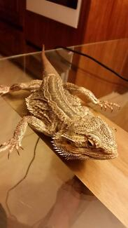 Bearded Dragon with enclosure set up and accessories! Donvale Manningham Area Preview