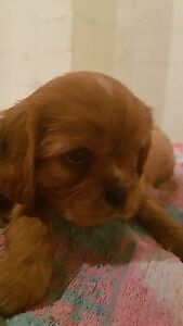 King Charles cavalier puppies Forster Great Lakes Area Preview