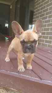 Female French Bulldog 9 weeks old Middleton Grange Liverpool Area Preview